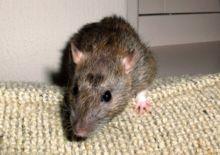Vipera uccisa a morsi da un topo