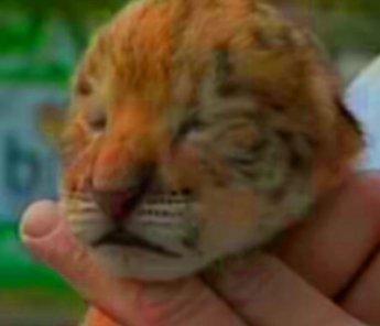 Nati tre cuccioli di leontigre