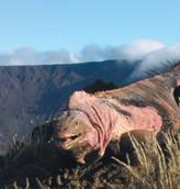 Antica iguana rosa scoperta nelle Galapagos