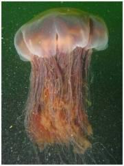Medusa gigante preserva gli oceani
